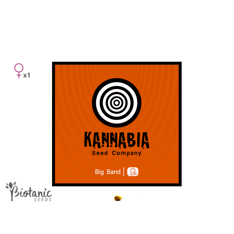 Kannabia Big Bang feminisees graines de cannabis de collection biotanic seeds